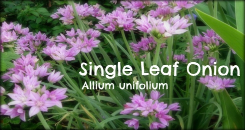 Single Leaf Onion