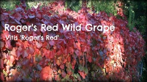 Vitis Rogers Red Grape