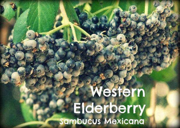 Western Elderberry