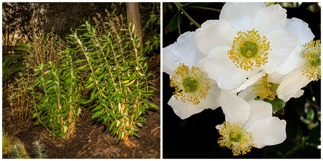 Carpenteria californica at Autopia (Credit: The Disneyland Resort), Carpenteria californica flowering (Credit - The Marmot, Flickr Creative Commons)