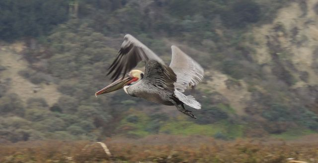A brown pelican searches for its breakfast.